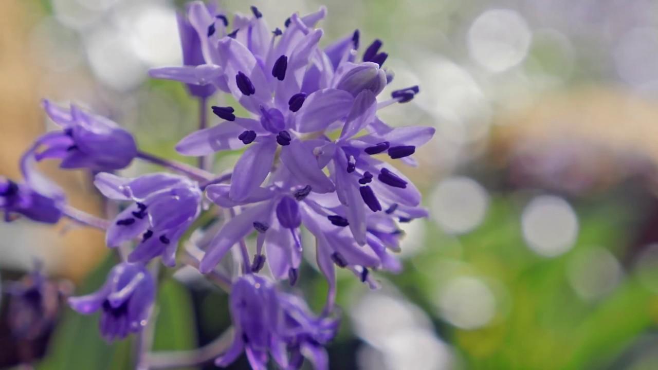 去比利牛斯山看满山坡的紫色花海风信子吧~